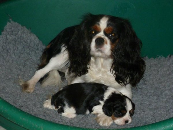 Bb cavalier king charles...