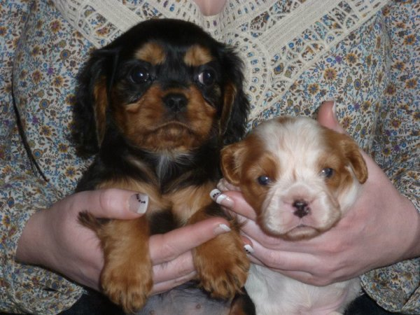 Ivoushka, petite cavalier king charles de 2 mois est venue agrandir la famille  4 pattes ...