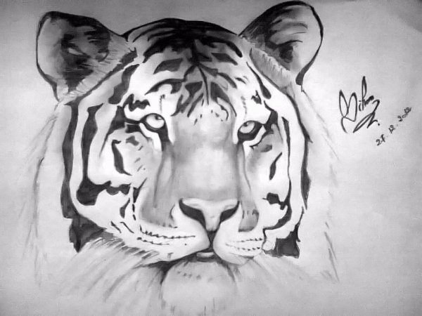 Dessin tigre dessin fait par siham bouyerbou mes - Image dessin tigre ...