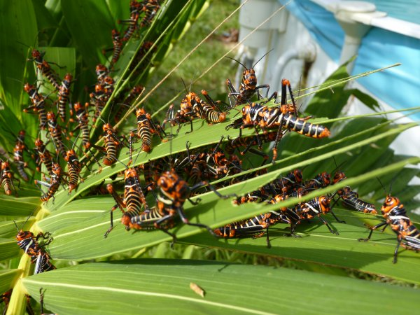 Invasion de sauterelles dans le jardin la famille reynaud en guyane - Invasion d araignee dans le jardin ...